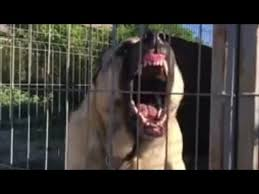The World Strongest Dog Bite Force Of 743 Pounds Kangal The Great