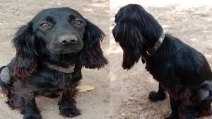 Black Cocker Spaniel Dog Import from ...