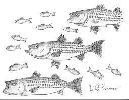 Striped Bass Migration