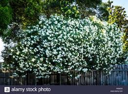 Nerium Oleander White High Resolution Stock Photography and Images - Alamy