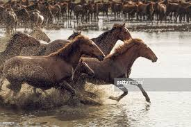 wild horses running through water. Simple Through Herd Of Wild Horses Running In Water  Stock Photo On Through