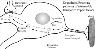 tetanus toxin supplement to synaptic targeting of retrogradely transported trophic