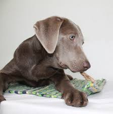 Weimaraner Lab Mix Is This Cross Breed The Right Pup For