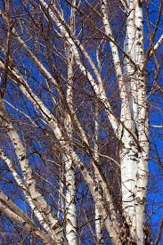 Vertical close-up of naked scandinavian birch trees and branches against  clear blue skky | Stock Photo | Colourbox