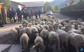 Pháp: Cho cừu đi học để cứu trường cứu lớp