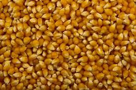 Growing Popcorn Popcorn Wikipedia
