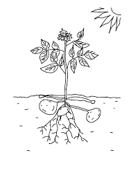 Coloring Pages Plants Vs Zombies Coloring Pages Peashooter Plants