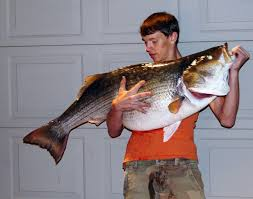 Saltwater striped bass in nc