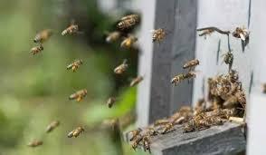 蜜蜂亂飛是什麼原因造成的?