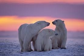 9 Wild Videos of Polar Bears