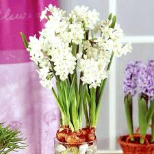 White Paper Flower Bulbs Indoor Narcissus Top Size Bulbs Paperwhite Bulk Sale