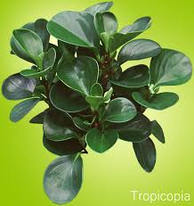 thick green rubbery peperomia plantk green rubbery leaves to enlarge