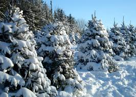 A continuum of trees is sustainably grown at Christmas tree farms. For  every tree harvested