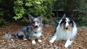 only is adorableness is blue merle cardigan welsh corgi and harlequin blue