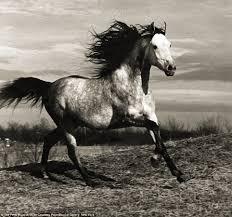 running horses black and white.  White Black And White Horses Running  Photo1 For Running Horses And White P