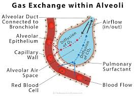 Gas Exchange Chart Alveoli Definition Location Anatomy Function Diagrams