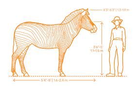 Horse Size Comparison Chart Safari Animals Dimensions Drawings Dimensions Guide