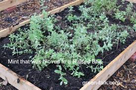 how to plant a garden. How To Plant Mint A Garden