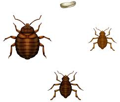 What Do Bed Bugs Look Like Arrow Termite Pest Control