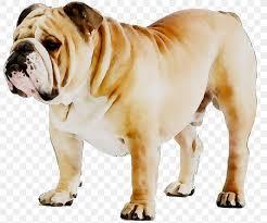 American Bulldog Height Chart French Bulldog Puppy Dog Breed American Bulldog Png