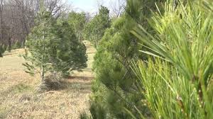 Where Are The Christmas Tree Farms Hereu0027s A List  Red Bank NJ PatchLocal Christmas Tree Lots