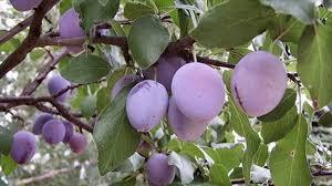 All About SelfFertile Fruit TreesPlum Tree Flowers But No Fruit