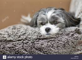 Manitoba Designer Breed Maltese And Shih Tzu Cross Dog Relaxing On A Furry Pillow
