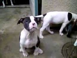 american bulldog pitbull mix. Plain Bulldog American Bulldog Pitbull Puppies Inside Bulldog Mix L