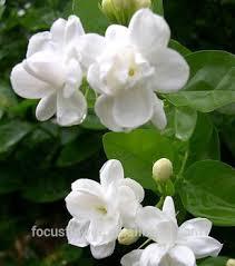2016 hot jasmine and rose garland jasmine flower red for love anniversary jasmine flowers for wedding jasmine flower red jasmine and rose garland