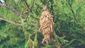 Bagworm Control Nebraska Extension In Lancaster County