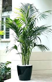 large indoor plants and trees best indoor trees low light big house plants big indoor trees large indoor plants