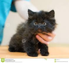 black cats with yellow eyes kitten. Delighful Cats Small Black Kitten With Yellow Eyes To Black Cats With Yellow Eyes Kitten E