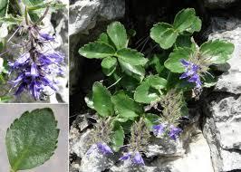 Paederota bonarota (L.) L. - Portale sulla flora del Parco Naturale ...