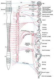 Вегетативная нервная система Википедия