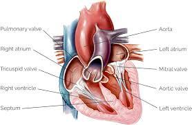 Cardiac Anatomy Chart Heart Anatomy Yourheartvalve