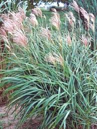 Tall Decorative Grass Types Of Ornamental Grasses Hgtv