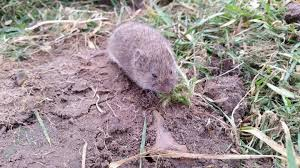 how to get rid of voles in garden. Plain Rid How To Get Rid Of Voles Controlvolesingarden On To Of Voles In Garden Old Farmeru0027s Almanac