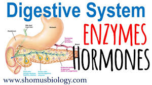 Digestive Enzymes And Hormones
