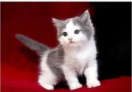 gray white ragdoll boy kitten singapore pets sg pets
