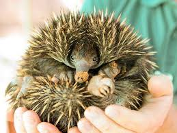 echidna puggle full grown. Modren Grown No Automatic Alt Text Available To Echidna Puggle Full Grown A