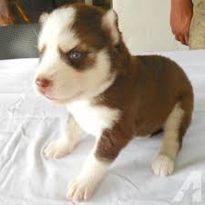red husky puppy blue eyes. Brilliant Red Beautiful Copper Dark Red Husky Puppy With Blue Eyes Inside Red P