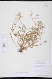 Cerastium semidecandrum - Species Page - ISB: Atlas of Florida ...
