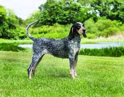 Image result for 2 blue tick coon hounds