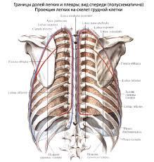 Легкие человека Анатомия Легких строение функции картинки на  Медиальная поверхность