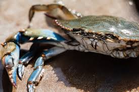Md Crab Size Chart Blue Crab Chesapeake Bay Program
