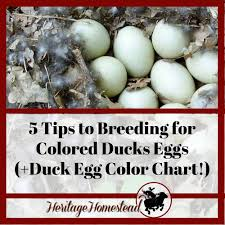 5 Tips To Breeding For Colored Ducks Eggs Duck Egg Color
