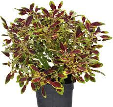 "Amazon.com : Coleus, Tiny Toes, Coleus, 3"" (2.6x3.5"") incl. Heat Pack :  Flowering Plants : Garden & Outdoor"