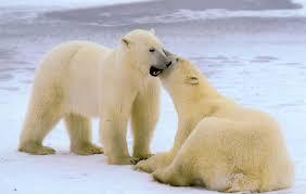 Urso Polar (Ursus maritimus) Images?q=tbn:ANd9GcQlEBeyH_cI6oLvBcja8xPPyRfqx2OQF0ATAe45PDmGVrYrbRrM