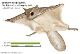 Rodents Lower Classifications Flying Squirrel Rodent Britannica