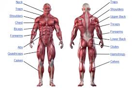 Muscle Anatomy Human Anatomy Chart
